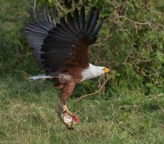 Flod Eagle, Uganda