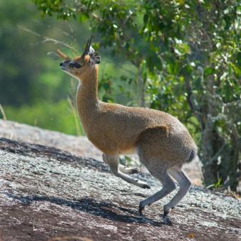 Klipspringer, Uganda